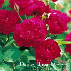 深いクリムズンのロゼット咲きの花が房になって咲き、散り際には藤色を帯びます。繰り返し良く...