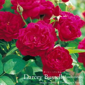 【剪定済】イングリッシュローズ大苗【ダーシーバッセル】【赤】●バラ7号角鉢植え