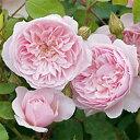 浅めのカップ咲きで驚くほどフレッシュなフルーツ香。強健で耐病性が高く繰り返しよく咲き季節...