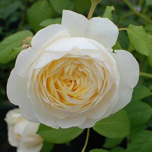 美しい白のカップ形の花で、エレガントなシュラブ樹形。強いミルラの香にシモツケソウの香りが...