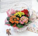 選べる季節の鉢花 花かごギフト「あじさい」「アンスリウム」「...