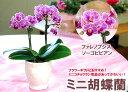 気品とかわいらしさがあふれるフラワーギフト♪ミニ胡蝶蘭(コチョウラン)鉢植 ソーゴビビアン...