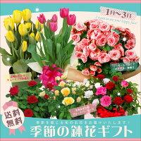 【あす楽】季節の鉢花ギフト 当店人...