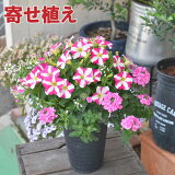 寄せ植え 「ピーチフラッペ」ペチュニア、バーベナ、アリッサムの新感覚寄せ植え