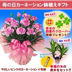 母の日ギフト限定【母の日ギフト】ピンクカーネーション4号鉢と幸福の木