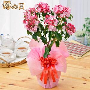 母の日 プレゼント 花 ギフト 鉢植え カルミア鉢植え 5号鉢植え 特典付き