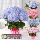 母の日 あじさい お花の好きなお母さんにプレゼント 超希少種の選べるアジサイ鉢植えセレクション
