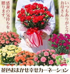 【地域限定】【母の日ギフト】累計10万人以上のお母さんに花と幸せをプレゼント!花色おまかせカーネーション鉢植えのみ【楽ギフ_包装】【楽ギフ_メッセ】