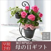 母の日ギフトバラの鉢植えギフト!デ...