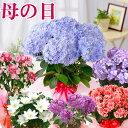 遅れてゴメンね 母の日 プレゼント アジサイ など おまかせ季節の鉢花 ギフト 花 鉢植え