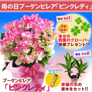 【母の日ギフト】ブーゲンビレア「ピンクレディ」鉢植え