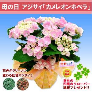 【母の日ギフト】アジサイ カメレオンホベラ鉢植えギフト
