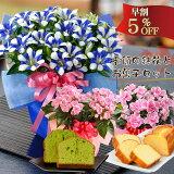 敬老の日 ギフト プレゼント 選べる季節の鉢花 リンドウ白寿 におい桜 アザレア や花とスイーツのセットも選べる敬老の日のプレゼント