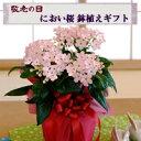 秋の夜長に香り漂う秋の桜、【送料無料】【敬老の日ギフト】におい桜鉢植えギフト