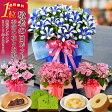 【遅れてゴメンね!敬老の日 ギフト】 選べる季節の鉢花(リンドウ、におい桜、ベゴニア、アザレア)とスイーツセット(バウムクーヘン、抹茶ケーキ、月まる、月でひろった卵)