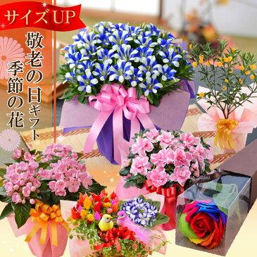 敬老の日のプレゼントに選べる季節の鉢花ギフト送料無料「リンドウ白寿」「におい桜」「キンカン鉢植え」「アザレア」など