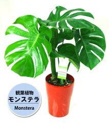 ハートの形の葉っぱに切れ込みが入る人気の観葉植物【観葉植物】モンステラ6号鉢植え