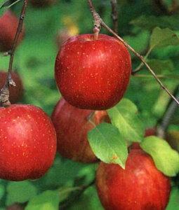 鉢・庭ともに鈴なり果実が楽しめる。 【PDSG】【予約品】●果樹苗【落葉果樹苗】【リンゴ苗木】...