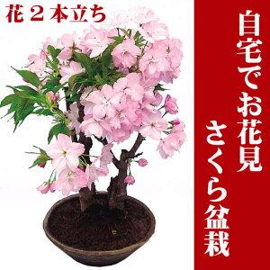自宅でお花見ができるサクラの盆栽仕立てです。お庭のない方も毎年楽しめます。さくら盆栽・桜...