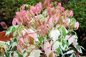 新芽がピンクに色づく素敵な樹木斑入りの葉が美しいネグンドカエデフラミンゴ5号鉢