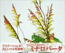 花色のグラデーションが美しいツル性植物!Newタイプあさがお!ミナロバータ5号鉢植え