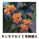 ●毎年咲きます● キンモクセイ苗木5号ポット(金木犀)