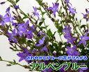 ブルーの小花が美しい!カンパニュラ・アルペンブルー5号鉢植え【1個】