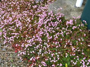 ピンクのお花のカーペット!花期が長く管理も楽♪グランドカバーにおすすめ寄せ植えにもポリゴ...