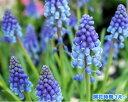 青い鈴のようなお花がかわいい♪送料無料●特価【5ポット】セット!ムスカリ苗3号ポット(1ポッ...
