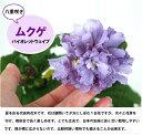 夏を彩る代表的な花木!次々と花芽をつけ、長期間楽しめます!八重咲きムクゲ 【バイオレットウ...