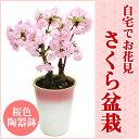 【送料無料】盆栽に挑戦!自宅でお花見ができる桜の盆栽仕立てです。毎年楽しめます。ホワイト...