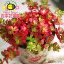 蛍光ピンクのような葉色が美しい斑入りポーチュラカ【バレンシア アイボリーポーチ】3.5号ポット苗
