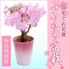 【2月上旬より出荷】特上株さくら盆栽(桜盆栽)●桜色陶器鉢植え−桜盆栽