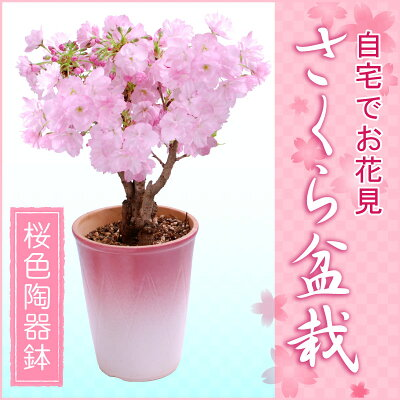 【2月上旬より出荷】特上株さくら盆栽(桜盆栽)●桜色陶器鉢植え?桜盆栽