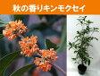 現在花終わり毎年咲きます キンモクセイ苗木5号ポット(金木犀)