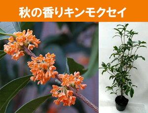 秋一番の良い香り金木犀キンモクセイ苗木5号ポット(金木犀)