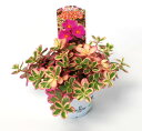 花がキレイ!葉も綺麗!暑さに強い!●斑入りポーチュラカ【バレンシア アイボリーポーチ】3.5...