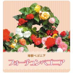 人気の球根ベゴニア!豪華なお花が魅力です【PDSG】【処分セール】フォーチュンベゴニア3.5号ポ...