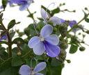 青い蝶のような、妖精のような、かわいらしい花青花好きの方には、たまらないお花です。【青い...