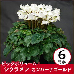 【送料無料】花もツボミもいっぱいの6号サイズ!シクラメン特大株!ビッグボリュームシクラメン...
