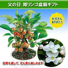 【送料無料】小さな実りに癒されます【父の日ギフト】姫リンゴ盆栽ギフト