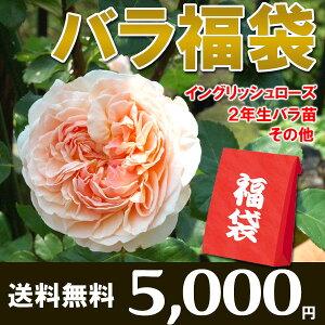 【送料無料】新春福袋セール【バラの福袋】イングリッシュローズバラ苗【ER1、バラ苗2、その他1】