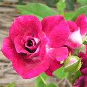 花は勿論、しべも濃い赤紫でシックな雰囲気がオシャレなバラ●【バラ2年生大苗バーガンディアイ...