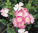 耐病性が強く連続的に花を咲かせる初心者向け品種【百華のバラ大苗シリーズ】桜木(さくらぎ)