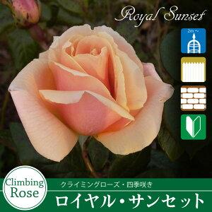 ロイヤルサンセット オレンジ ツルバラ・クライミングローズ