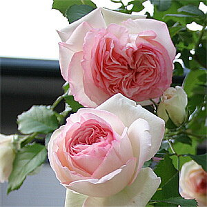 ツルバラの最高傑作!世界バラ会連合の栄誉殿堂入りした品種 何本でも同梱可。1万円以上送料無...