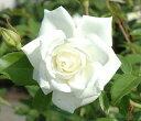 Rose-sato05