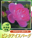Rose-sato10