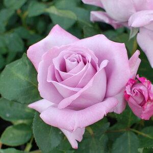バラ苗/素晴らしい香りの青いバラを代表する優良種 何本でも同梱可。1万円以上送料無料!1000円...
