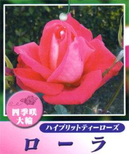 人目を引き付ける鮮やかな朱色の花と整った花形 何本でも同梱可。1万円以上送料無料!【剪定済...